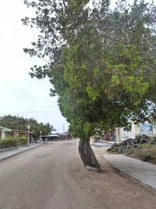 Isabela tree in road
