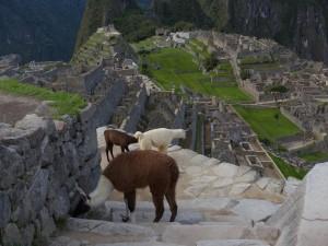 Lamas at MPicchu