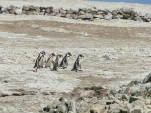 pinguinsPeru