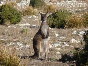 KangarooSpotted